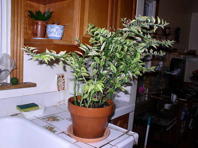 Комнатное растение педилантус уход фото