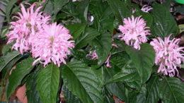 Комнатное растение якобиния уход в домашних условиях фото