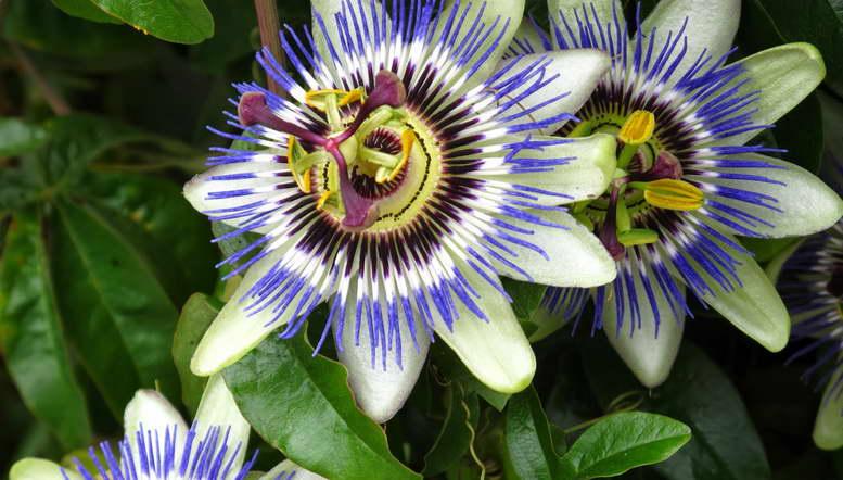 Комнатные лианы с фото и наваниями На фото страстоцвет пассифлора