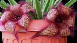 Комнатные цветы стапелия фото Уход в домашних условиях Размножение черенками
