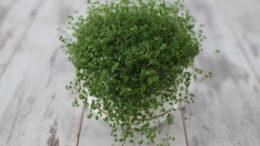 Комнатный цветок солейролия выращивание и уход