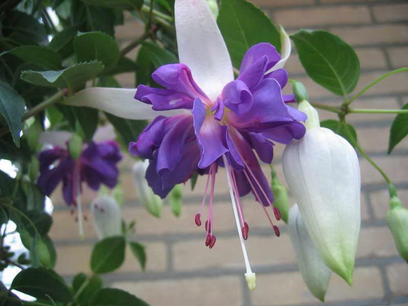 Комнатный цветок фуксия Blue Angel выращивание и уход фото