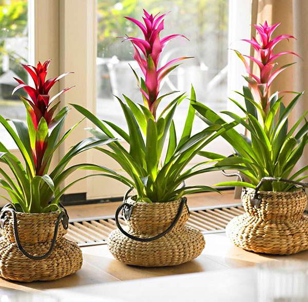 Комнатный цветок гузмания фото Гузмания дома