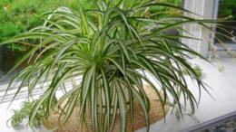 Комнатный цветок хлорофитум посадка и уход в домашних условиях фото