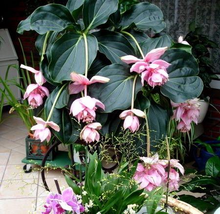 Комнатный цветок мединилла