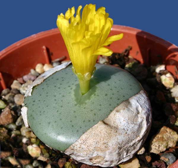 Конофитум Флавум Conophytum Flavum фото