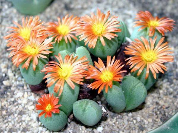 Конофитум Кустарниковый Conophytum Frutescens фото