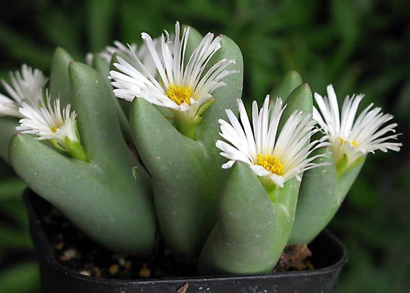 Конофитум двулопастный Conophytum bilobum сорт 'leucanthum' фото