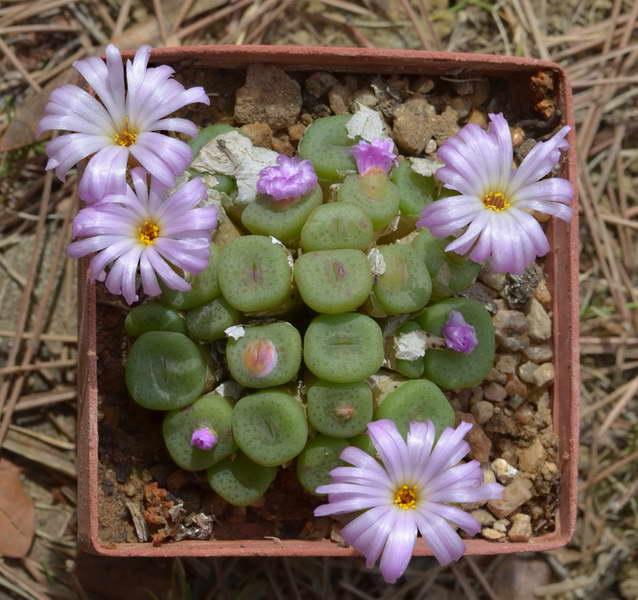 Конофитум кубический Conophytum cubicum 'Purple Eye' фото