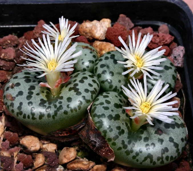 Конофитум обратноконический Conophytum obconellum фото
