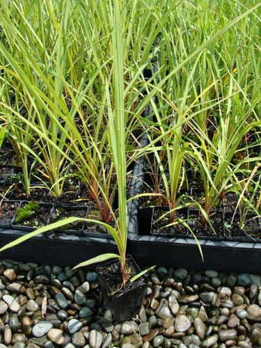 Кордилина из семян фото
