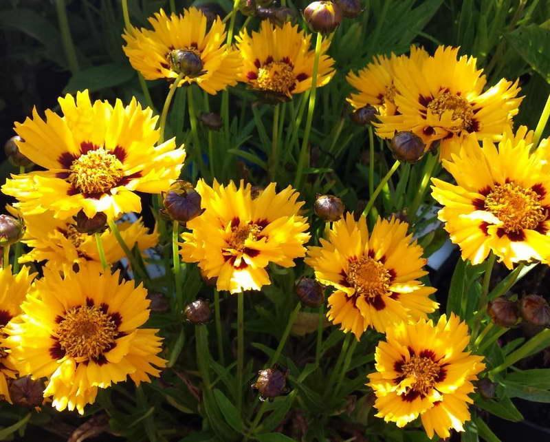 Кореопсис крупноцветковый Coreopsis grandiflora 'Sunfire' фото