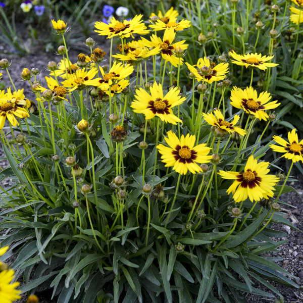 Кореопсис крупноцветковый Сан кисс Coreopsis grandiflora 'SunKiss' фото