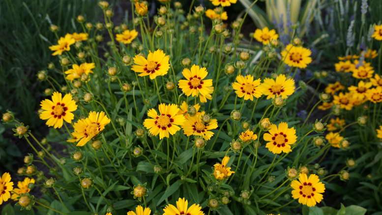 Кореопсис многолетний посадка и уход в открытом грунте Фото цветов