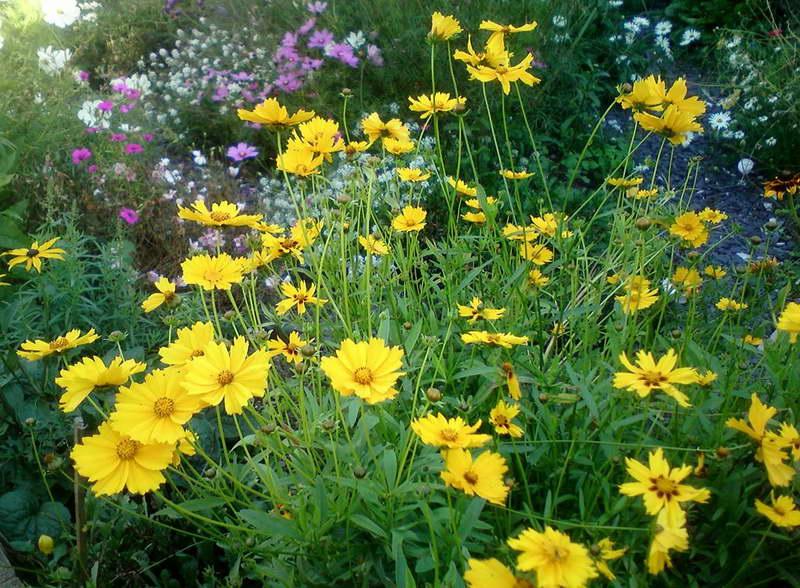 Кореопсис в ландшафтном дизайне фото с другими цветами