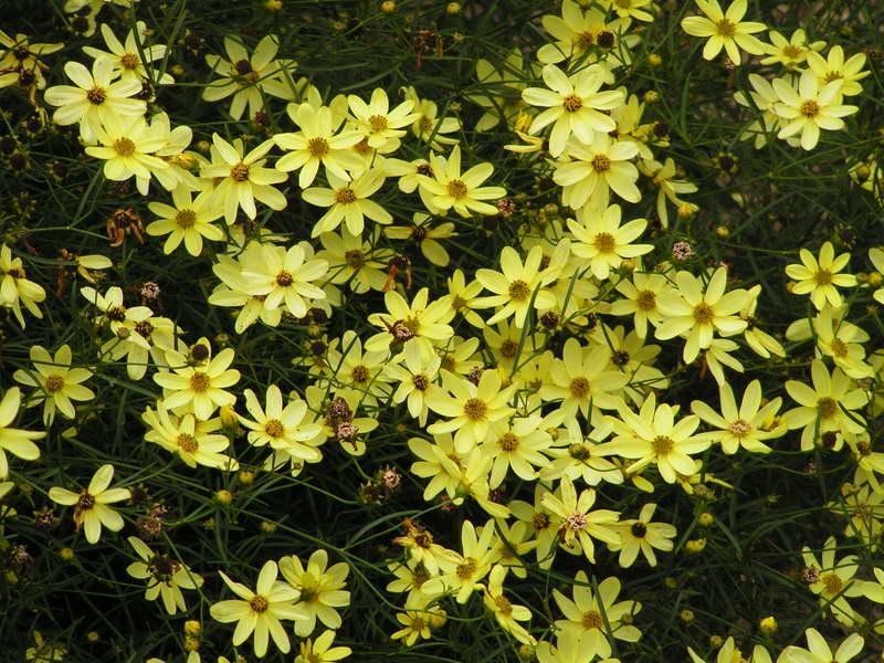 Кореопсис желтый moonbeam фото