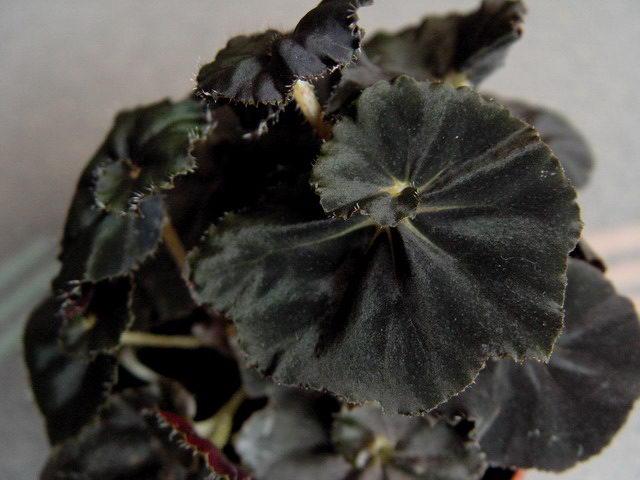 Королевская бегония Блек Фанг Black Fang фото