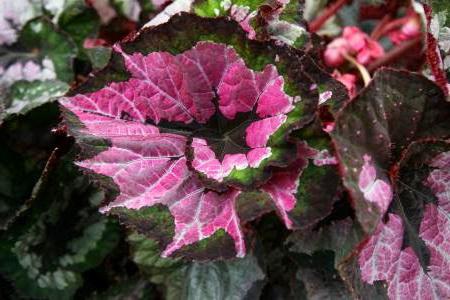 Королевская бегония Мери Кристмасс Begonia rex 'Curly Merry Christmas' (=Begonia 'Merry Christmas Corkscrew')