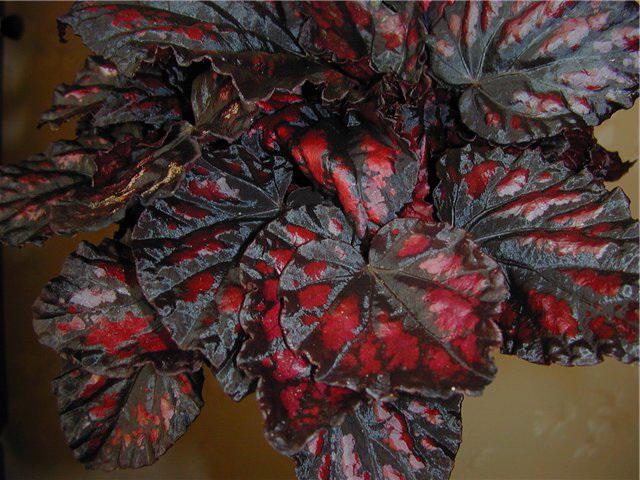 Королевская бегония Везувий Begonia Vesuvius