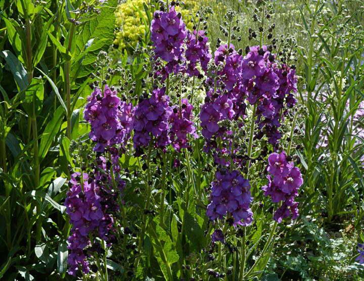 Коровяк фиолетовый Verbascum phoeniceum фото