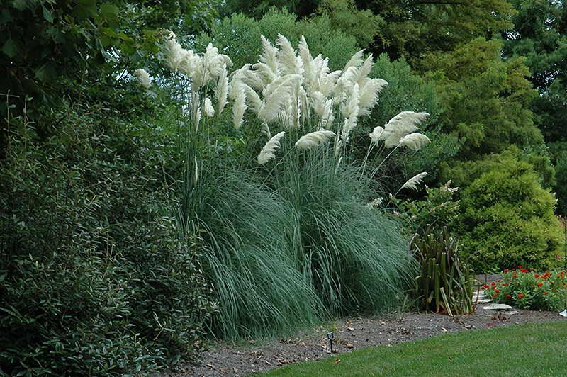 Кортадерия пампасная трава серебристая в ландшафтном дизайне фото