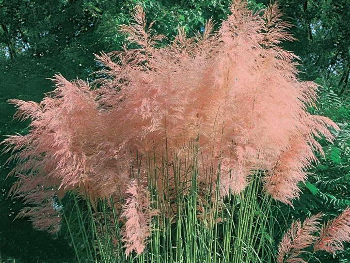 Кортадерия селло пинк розовая сорт Cortaderia selloana Pink Feather фото