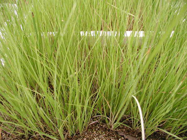 Трава кортадерия посадка семенами фото рассады
