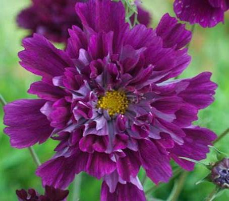 Космея дваждыперистая сорт Cosmos bipinnatus 'Cranberries' фото