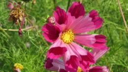 Космея фото цветов Выращивание из семян