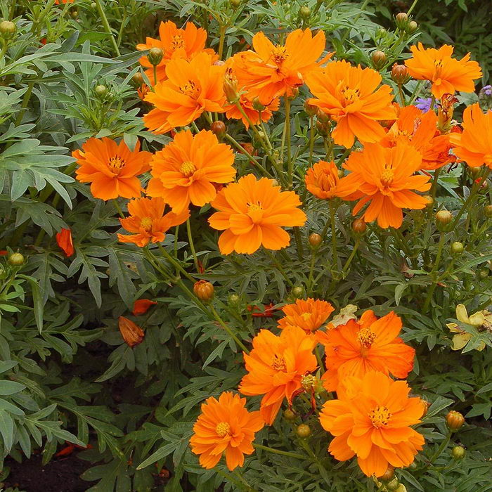 Космея серно желтая Cosmos sulphureus сорт Cosmic Orange фото