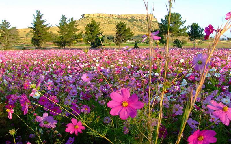 Космея в ландшафтном дизайне фото цветов