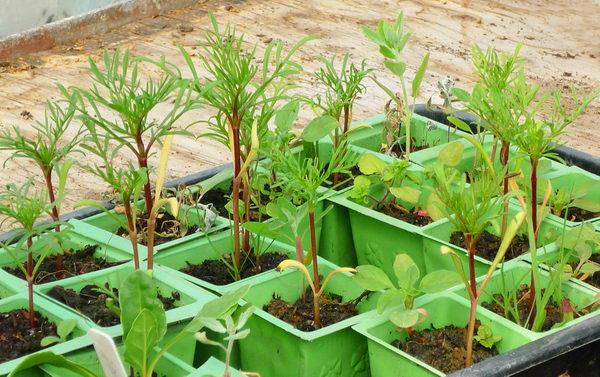 Космея выращивание из семян фото рассады
