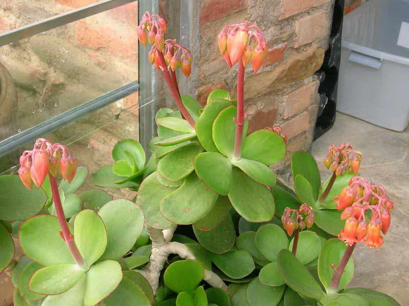 Котиледон крупноцветковый Cotyledon macrantha фото