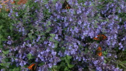 Котовник фассена nepeta faassenii фото цветов Выращивание из семян