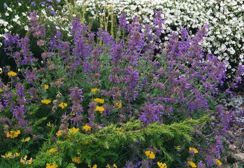 Котовник в дизайне сада фото цветов