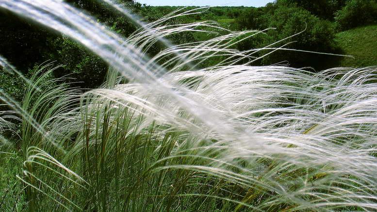 Ковыль красивейший фото и описание растения