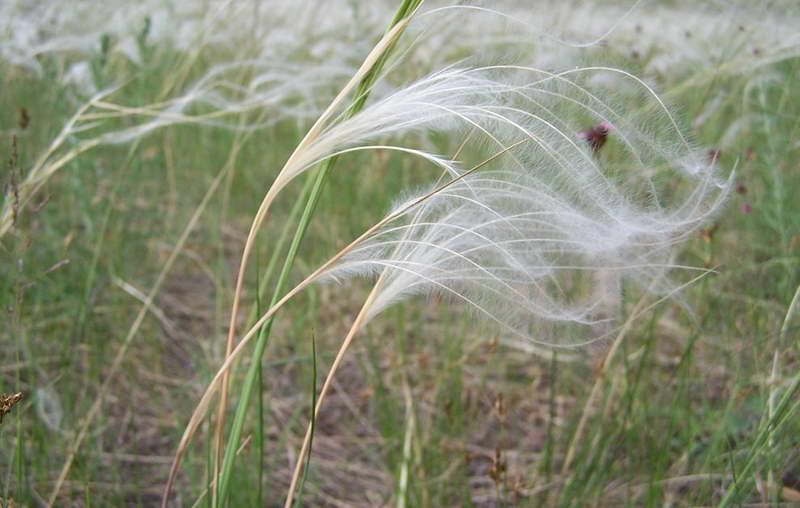 Ковыль опушеннолистный Stipa dasyphylla фото