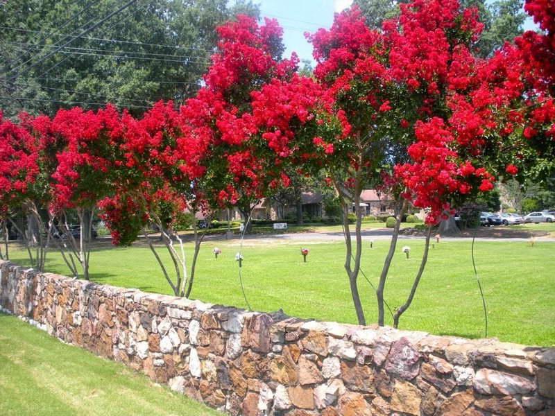 Красный креп мирт в ландшафтном дизайне фото