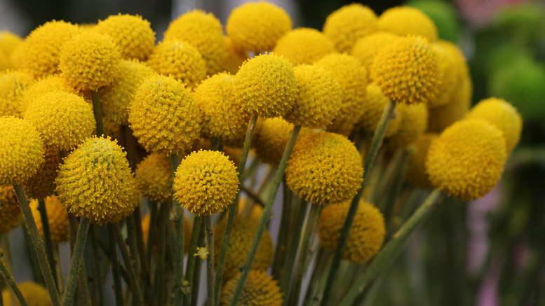 Краспедия барабанные палочки выращивание из семян Фото цветов