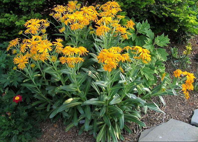 Крепкий гелениум гупеса Helenium hoopesii фото цветов в саду посадка и уход