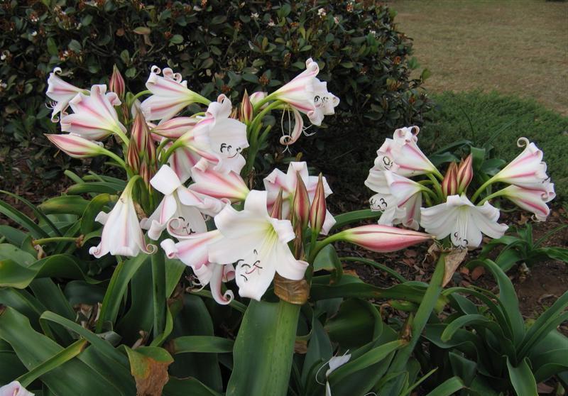 Кринум Макована Crinum macowanii фото цветов