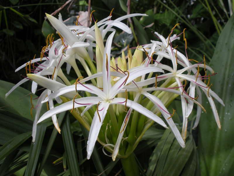 Кринум азиатский Crinum asiaticum фото цветов