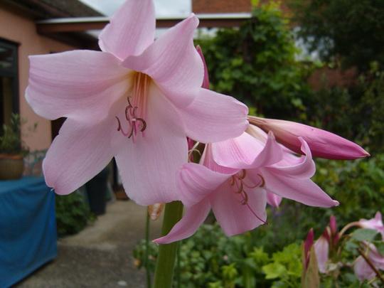 Кринум большой Crinum giganteum фото цветов