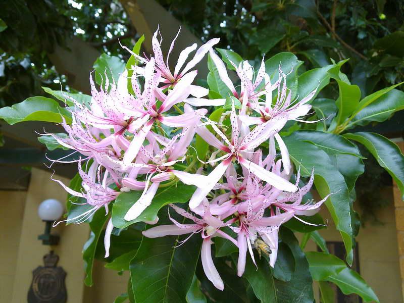 Кринум капский Crinum capense фото цветов