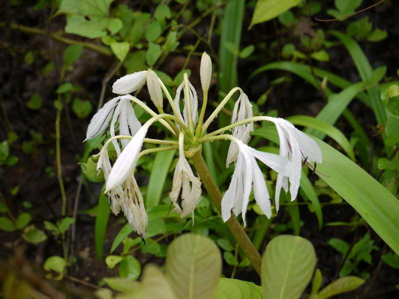 Кринум луговой Crinum pratense фото цветов