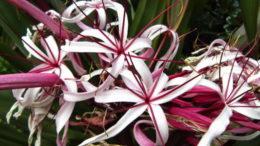 Кринум садовый посадка и уход в открытом грунте Фото цветов