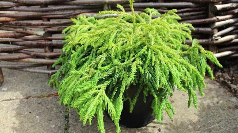 Криптомерия японская уход в домашних условиях На фото сорт Cryptomeria japonica 'Spiralis'