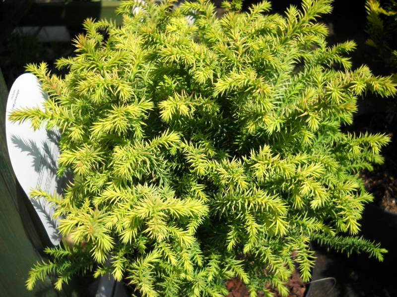 Криптомерия японская золотистая сорт Cryptomeria japonica 'Vilmorin Gold' фото