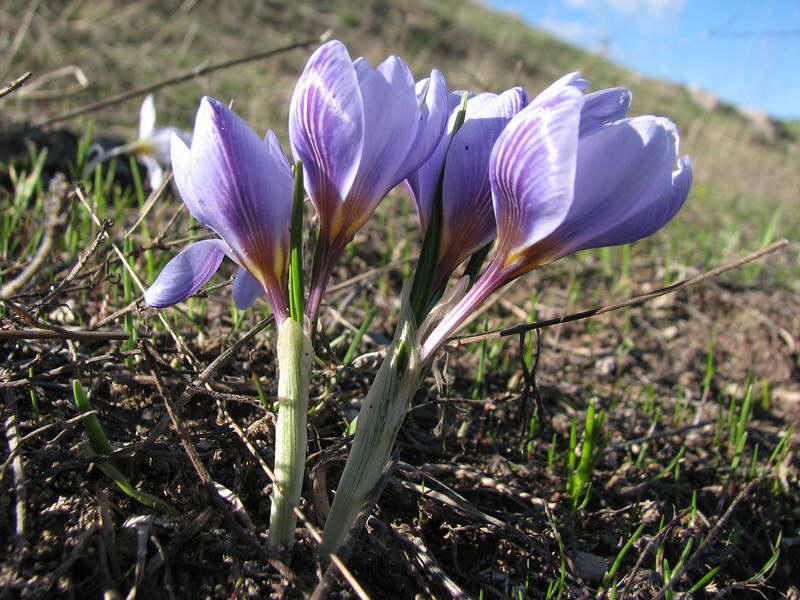 Крокус двуцветковый Crocus biflorus фото