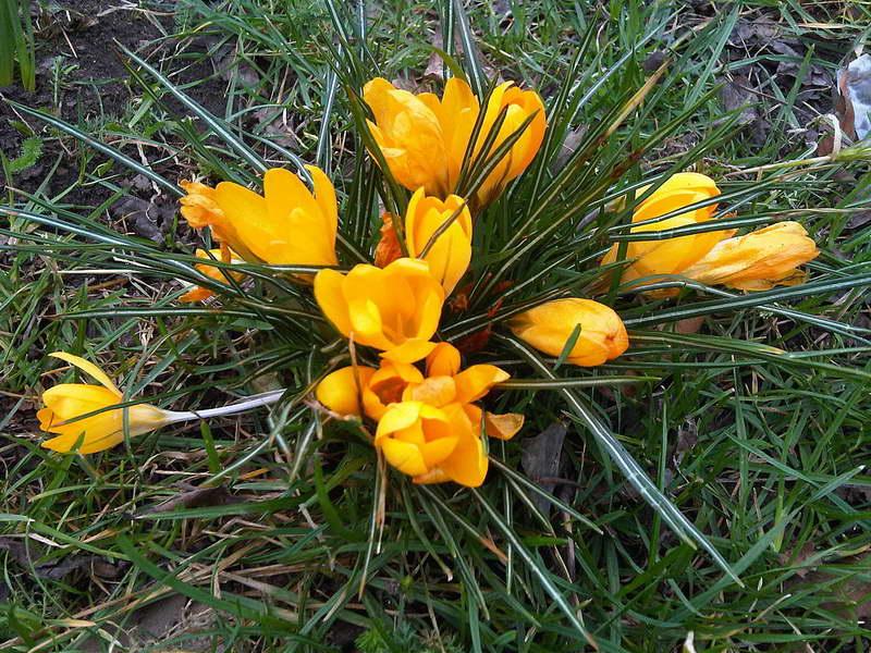 Крокус золотистый Crocus chrysanthus фото